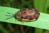 Пеніс жука перевірили на міцність